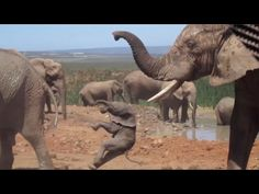 Wild Footage Of Baby Elephant Being Thrown Around By Bull! Down below we have rare footage of a baby elephant being taught a tough lesson. The video, which features a young calf being thrown around by. Elephant Pictures, Elephants Photos, Bull Elephant, Cliff Diving, Really Funny Pictures, Raging Bull, Little Babies, Great Photos, Animal Kingdom
