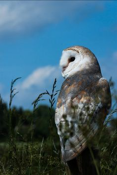 Barn Owl by e_cathedra, at the Barn Owl Centre of Gloucester.