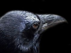 Ravens are intriguing birds! Raven bird facts from The Old Farmer's Almanac. Common Crow, Bird Facts, Raven Bird, Old Farmers Almanac, Maggie Stiefvater, Halloween Images, Beltane, Scrapbook Supplies, Craft Supplies