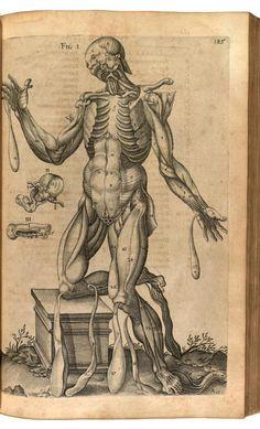 Planche p. 185 : anatomie humaine. Les muscles, de face. Du Laurens, André  (1558-1609 https://pinterest.com/pin/287386019946881538/), Francfort,1600. Historia anatomica humani corporis et singularum eius partum multis: https://pinterest.com/pin/287386019947522015.