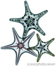 starfish x-ray
