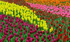 Photo about colorful tulip flowers in a tropical garden during spring. Image of tulips, blooming, outdoor - 88709141 Tulips Flowers, Tropical Garden, Scenery, Bloom, Stock Photos, Spring, Plants, Outdoor, Image