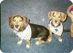 New York, NY - Beagle. Meet Abby and Hunter - female/male COURTESY POST, a dog for adoption. http://www.adoptapet.com/pet/11851572-new-york-new-york-beagle