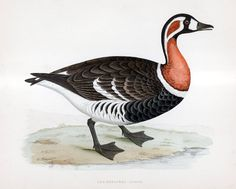 Red breasted goose lithograph, bird  illustrated by Beverley R Morris (c. 1891)