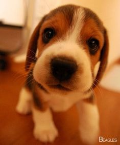 Are you interested in a Beagle? Well, the Beagle is one of the few popular dogs that will adapt much faster to any home. Whether you have a large family, p Cute Beagles, Cute Puppies, Dogs And Puppies, Baby Dogs, Pet Dogs, Dog Cat, Doggies, Cute Baby Animals, Animals And Pets