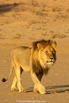 A practical guide to a safari in South Africa - The Kalahari lion