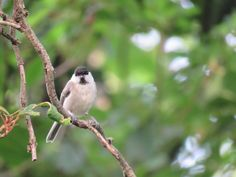 """The image is a willow tit or """"kogara"""" in Japanese."""