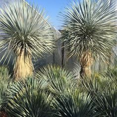 Yucca rostrata cold hardy usda zones 5-11
