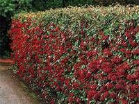 Vysaďte si krásný živý plot