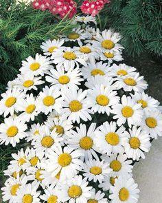 Shasta daisy Snow Lady .