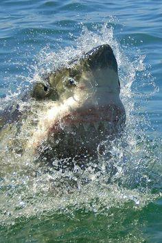 A Great White making a ferocious splash!