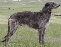 deerhound - one of my most favorite breeds....