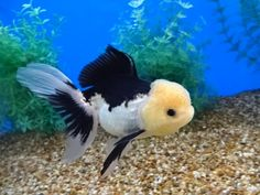 Auction Items Listing Goldfish Species, Lemon Head, Just Fresh, Auction Items, Freshwater Fish, Fresh Water, Black And White, Cute, Animals