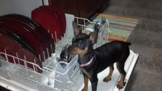 This is my min pin when she was busted sneaking on the dishwasher for a quick extra clean up on the dishes.
