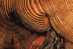 Cellulose in tree rings can tell us a lot about past climates and tree physiology. Measuring the stable isotope signatures of carbon and oxygen (stable isotopes are different versions of an element that can have more or less mass but exhibit the same chemical behaviour) in wood is an important method for determining the climate experienced by a tree. But the extraction of cellulose from wood is complicated in conifer species that contain high concentrations of resins which can interfere with…