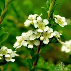 Baeckia virgata Compacta Compact flowering shrub to 75cm, ideal for coastal planting and native gardens. New bronze leaves, masses of white flowers attract birds. Excellent for low hedges or ground cover. #australian#native#flowering#hardy