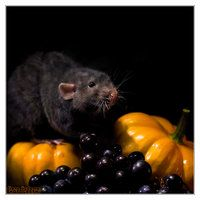 Arkanys 29 - Fancy rat by DianePhotos