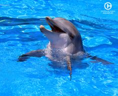 Hope the Dolphin is Winter's companion at Clearwater Marine Aquarium. Both share similar rescue stories and starred in Dolphin Tale Visit Hope today! Dolphin Tale 2, Dolphin Quotes, Clearwater Marine Aquarium, Baby Dolphins, Fishing World, Bottlenose Dolphin, Animals Of The World, Ocean Life, Marine Life
