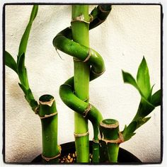 Lucky bamboo #lucky #bamboo #plant #china... | Wicker Blog  wickerparadise.com