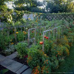 Vegetable garden with tomatoes (Solanum lycopersicum) underplanted with marigold (Tagetes) and basil (Ocimum basilicum) USA #vegetablegardening