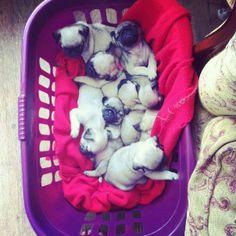 Pile o' pug puppies