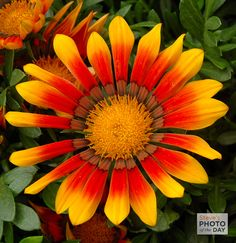 bugs and bright colors of a gazania