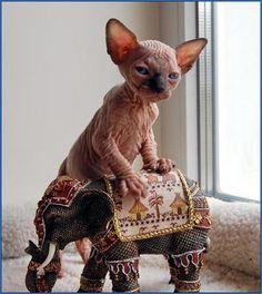 hd baby hairless cat