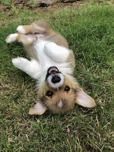 The Queens corgis — Delta is getting very long months) at. Cute Puppies, Cute Dogs, Dogs And Puppies, Cute Babies, Doggies, Cute Little Animals, Cute Funny Animals, Funny Dogs, Cute Animal Pictures