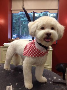 Havanese | Dogma Grooming Salon and Spa I like this face shape and ear cut