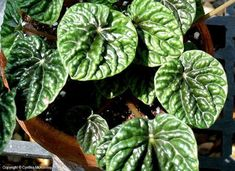 Peperomia Low Light Plant                                                                                                                                                                                 More