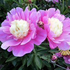 'Beautiful Señorita' Japanese Peony | Flower