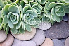 'Hens and Chicks' Succulent & River Pebble Background Royalty Free Stock Photo