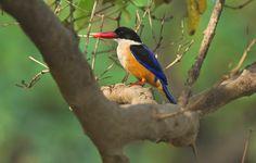 Black Capped Kingfisher - Wildlife Wander http://sswildlifewander.blogspot.in/