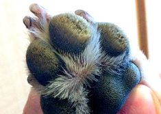The Pet Help Forum: A Pet Owner's Help & Support Community - Dry Dog Nose or Paw Pads - About Hyperkeratosis in Dogs Dry Dog Nose, Dog Paw Pads, Dumb Dogs, Dog Health Tips, Cute Bulldogs, Grow Hair, Hair Growing, Dog Owners, Pet Care