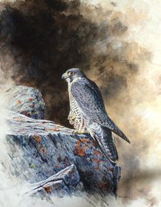 Female Peregrine Falcon at rest Original acrylic painting Devon Uk, Peregrine Falcon, Wildlife Art, Natural World, Art Oil, Watercolor Paintings, Art Photography, Rest, Fine Art