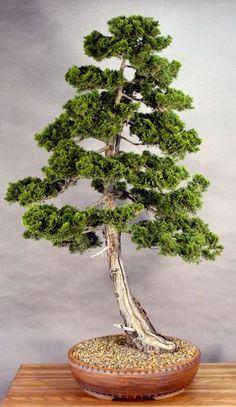 Hinoki Cypress | Bonsai - Informal upright (Moyogi) | Pinterest