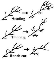 Pruning Peach Trees gardening