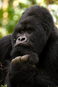 gorilla ~ the thinker