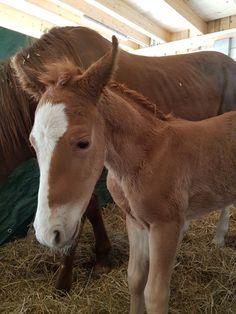 Herzlich willkommen auf dieser Welt, kleiner Herzensbrecher!  Sire: Bingo Starlight Dam: Venezia Scotch Doc Quarter Horses, Mustang, Horse Love, American, Bingo, Scotch, Animals, Horses, Western Saddles