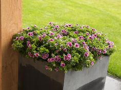 Angeleyes Randy #Edelgeranie #Angel #Pelargonium #garden #plants #flowers