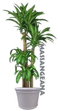 Dracaena Fragrans Massangeana: Indoor/Outdoor plant that purifies the air and has shown to help remove Formaldehyde.