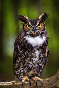 Horned Owl clipart nocturnal animal - pin to your gallery. Explore what was found for the horned owl clipart nocturnal animal Owl Photos, Owl Pictures, Animals And Pets, Baby Animals, Cute Animals, Wild Animals, Beautiful Owl, Animals Beautiful, Owl Bird