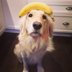 Golden retriever banana balance