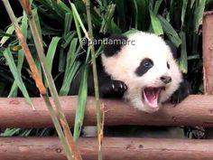 # #panda #панда #パンダ #팬더 #熊貓 #熊猫 #pandas #pandabear #panda #pandalove #pandalife #giantpanda #instapanda #панды #Большаяпанда #lovepanda #หมแพนดา #الباندا #פנדה #video #bestoftheday #instadaily #instagood #animals #лайк #животные #видео