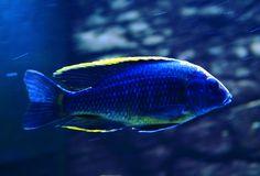 Aulonocara Maylandi  Sulfur Head Peacock Cichlid