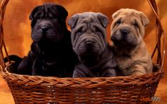 Chinese Dog breed