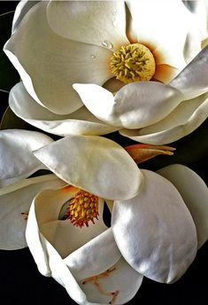 Magnolia Magnolia The post Magnolia appeared first on Fotografie. My Flower, White Flowers, Flower Art, Beautiful Flowers, Flowers Nature, Flor Magnolia, Magnolia Flower, Art Floral, Botanical Art