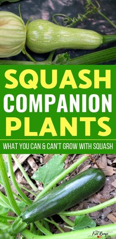 The Best Squash Companion Plants for Your Backyard Garden Vegetable Gardening- Learn what are the best squash companion plants to plant with both winter and summer squash for a better harvest and less pests Blueberry Companion Plants, Vegetable Garden Planner, Vegetable Garden Design, Vegetable Gardening, Planting Vegetables, Organic Vegetables, Growing Vegetables, Gardens, Vegetable Garden