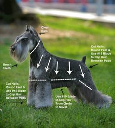 How to Groom a Schnauzer | Details about Schnauzer Grooming Instructions Video and Four DVDs