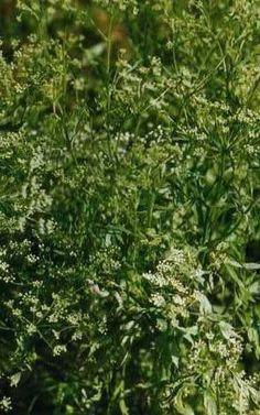 Bitkisel Tedavi, 1 Lt. Anosan Sıvı Ekstresi,Pimpinella Anisum,Aniseed Extract Doğal Tedavi - Doğal Ürünler - Bitkisel Ürünler - Alternatif Tıp - Bitkisel - Şifalı Bitkiler - Bitkiler - Bitkilerle Tedavi - Bitkisel Sağlık Ürünleri   İlaç Değil Bitkisel Gıda Takviyesidir. www.bitkiseltedavi.com